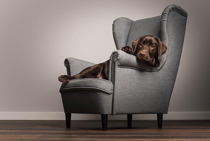 Dog and Equine lifestyle portfolio - Chocolate Labrador puppy