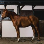 Eventing horse in stables - Photographer North Wales