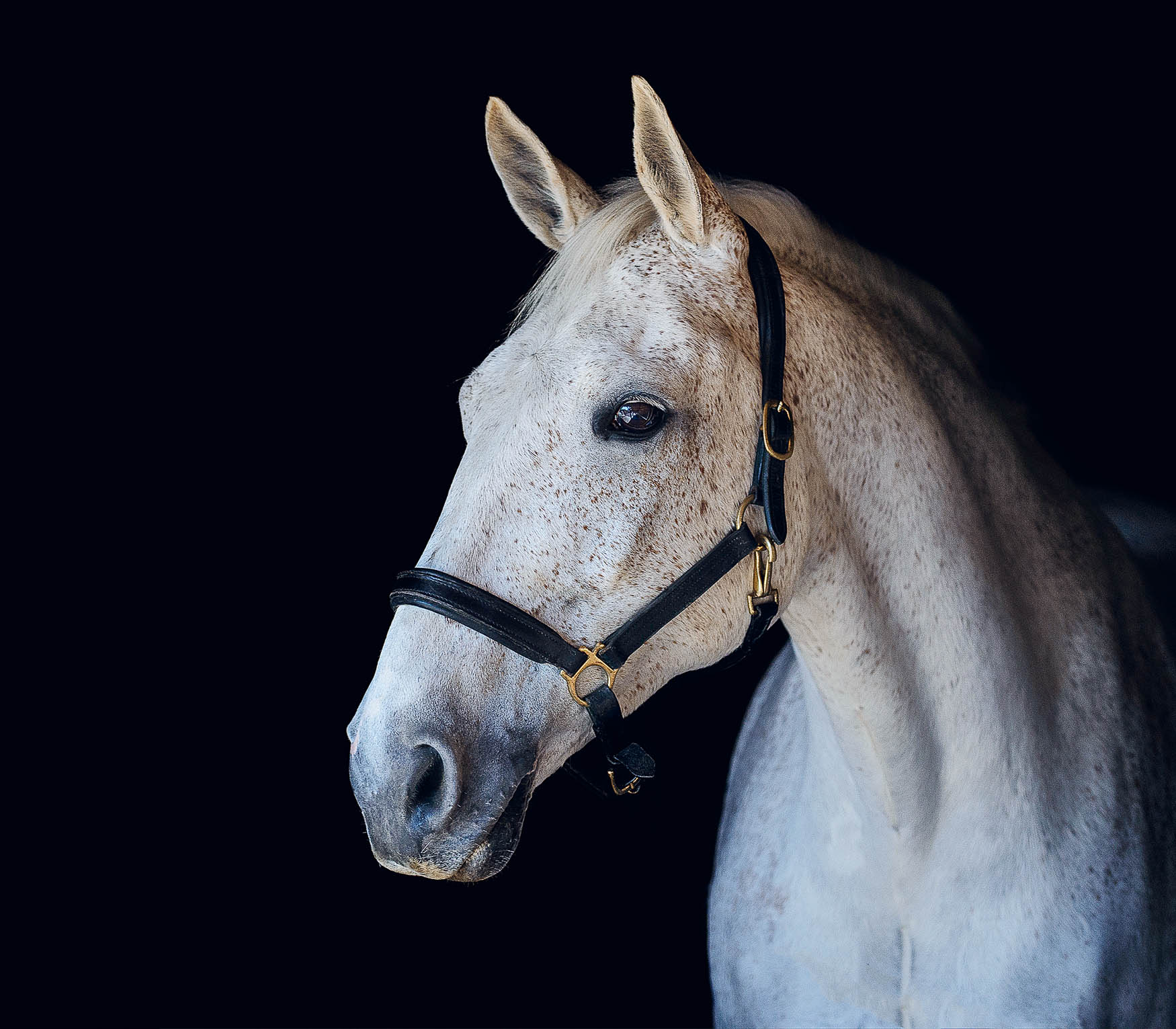 Grey horse - stable