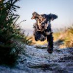 Wirral Dog Photographer - Show Cocker Spaniel
