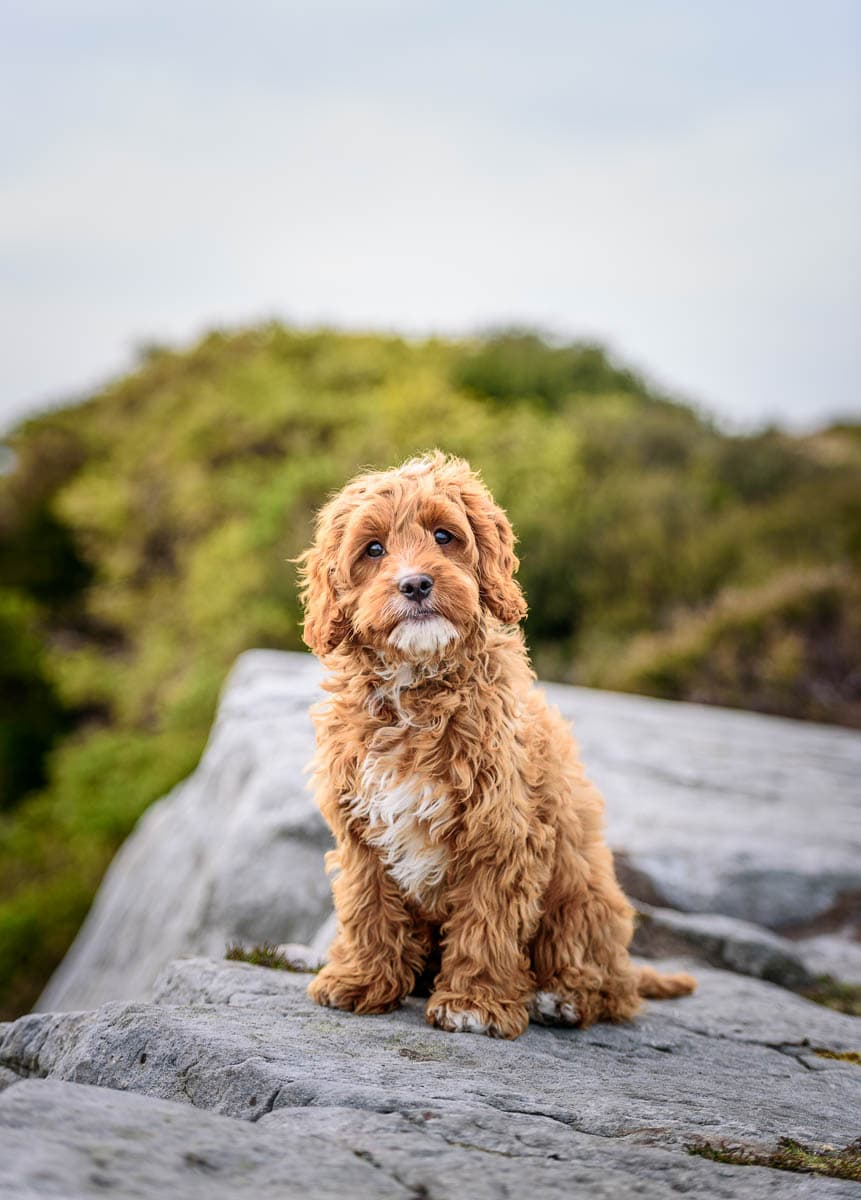 Shropshire Dog Photographer - CockerCavaPoo Puppy