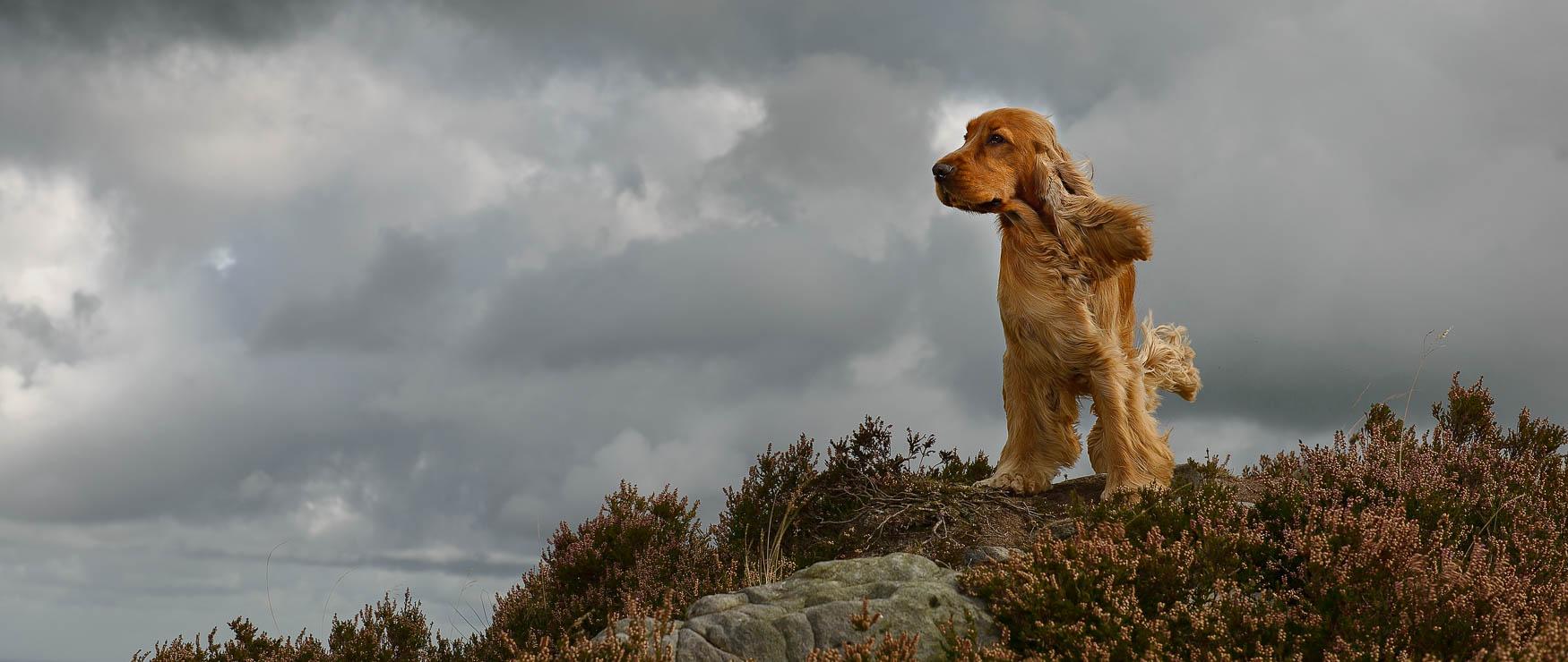 Cheshire Dog Photographer - Show Cocker Spaniel