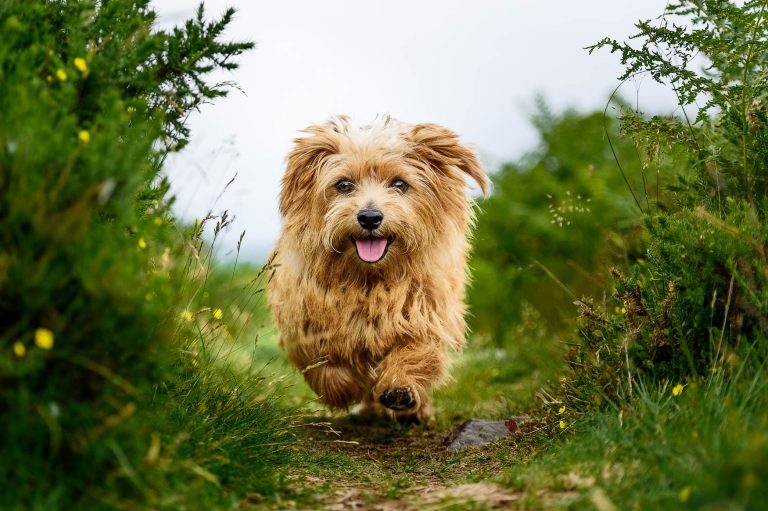 Derbyshire Dog Photographer - Norfolk Terrier