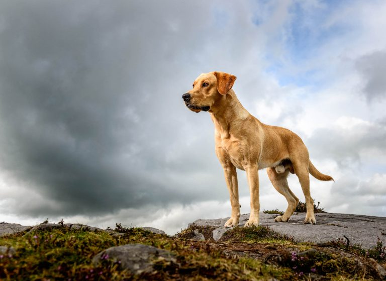 Cheshire Dog Photographer - Working Fox Red Labrador