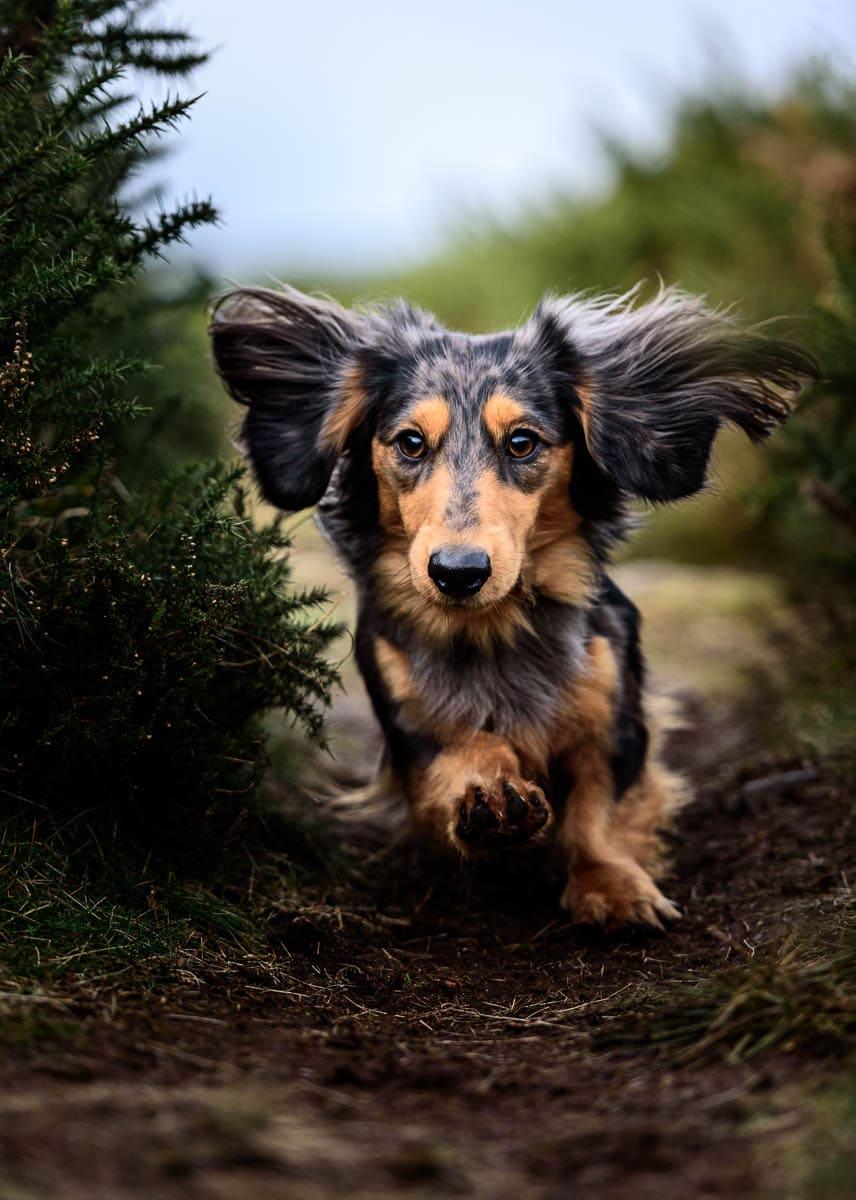 Cheshire Dog Photographer - Long Haired Miniature Dachshund