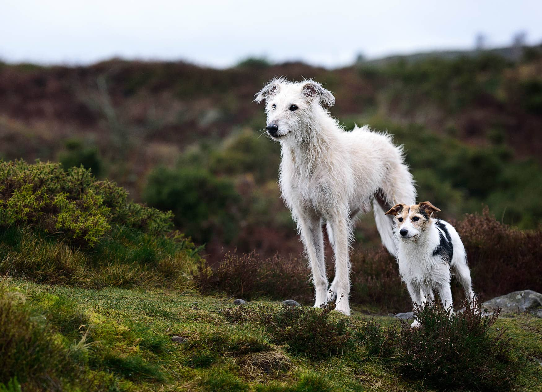 Wirral Dog Photographer - Jack Russell and Lurcher