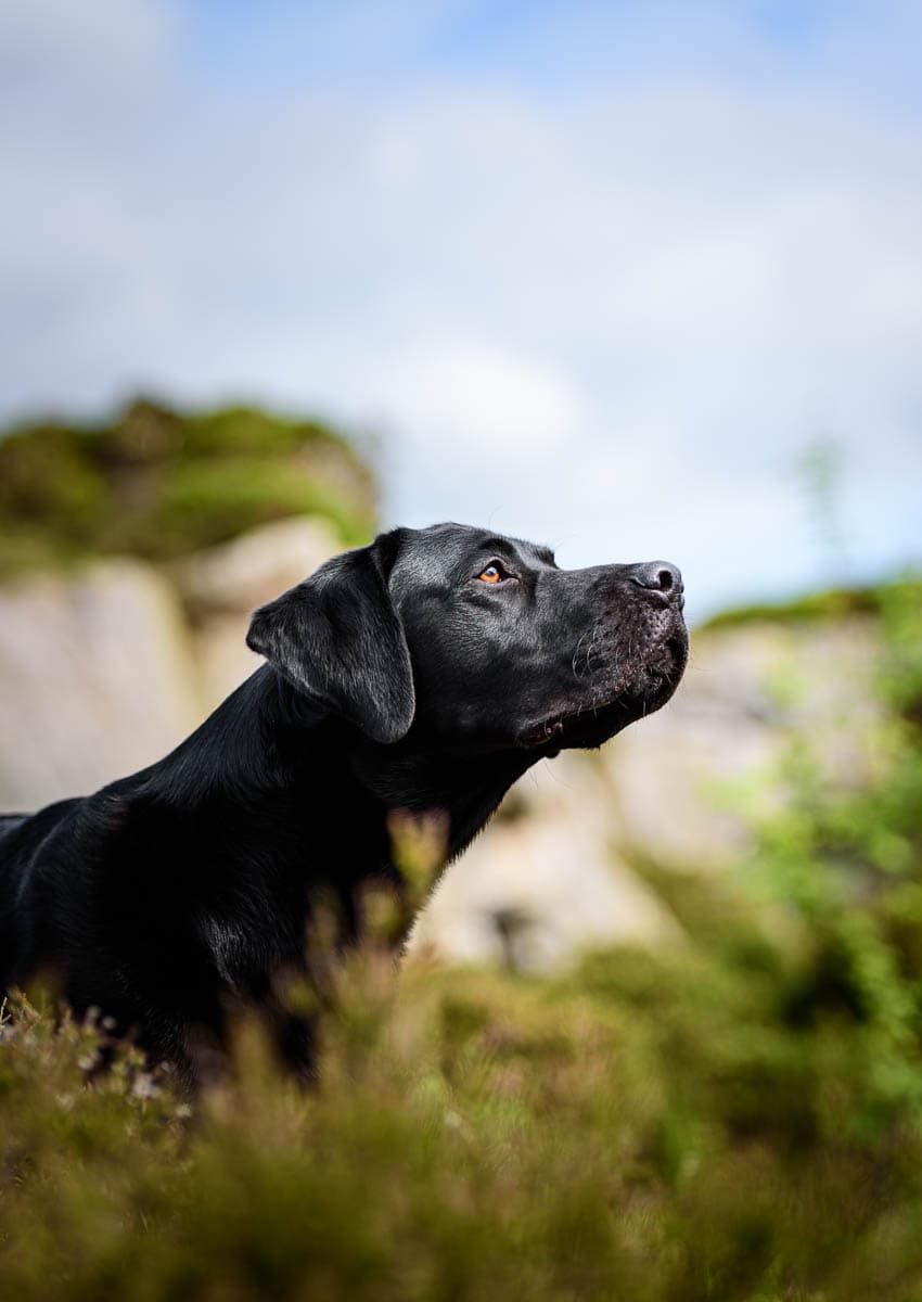 North Wales Dog Photographer - Working Black Labrador