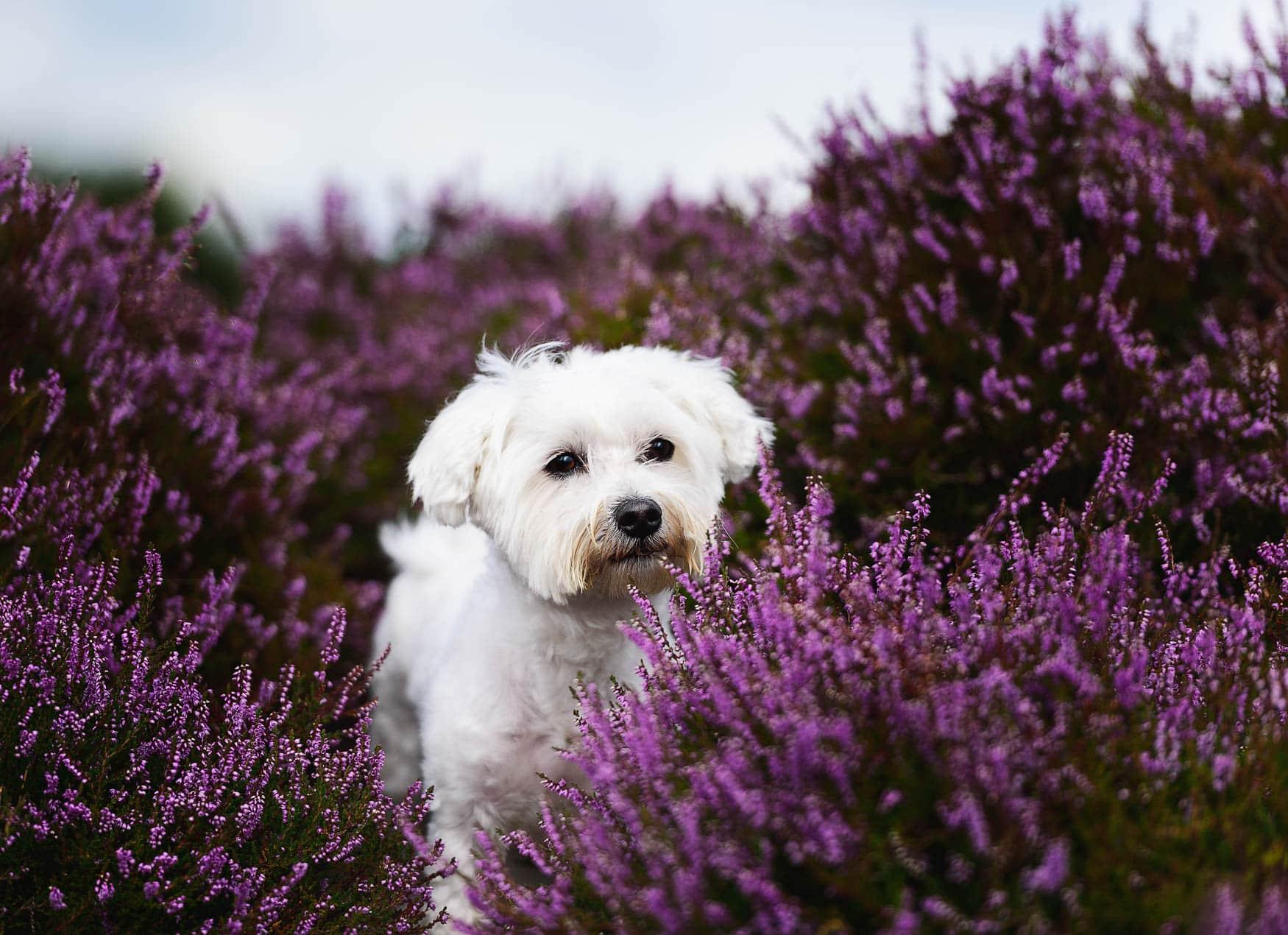 Wrexham Dog Photographer - Maltese Terrier