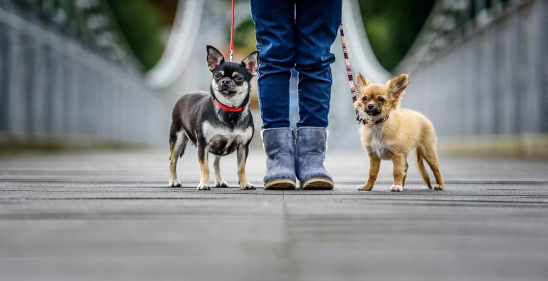 Chester Dog Photographer - Chihuhua and her Chihuahua Puppy