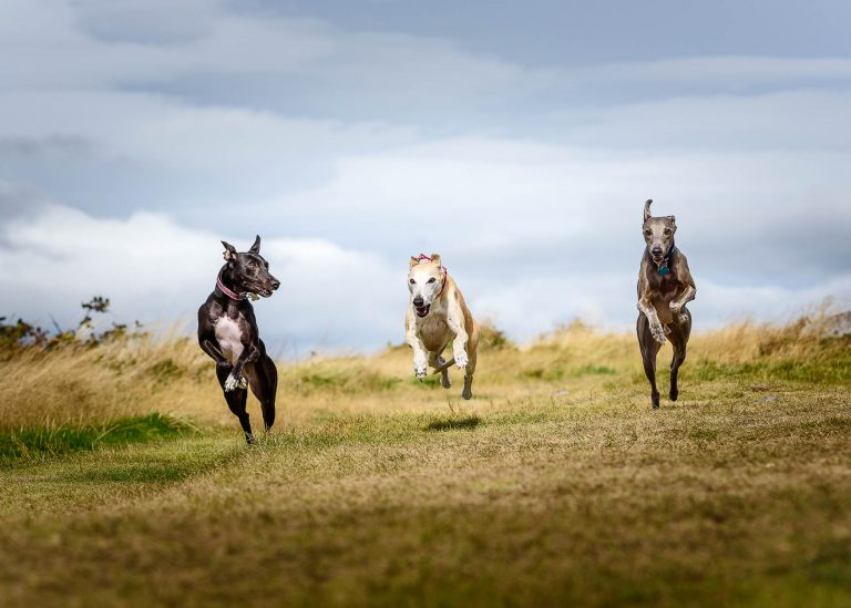 Cheshire Dog Photographer - Three Whippets playing with each other