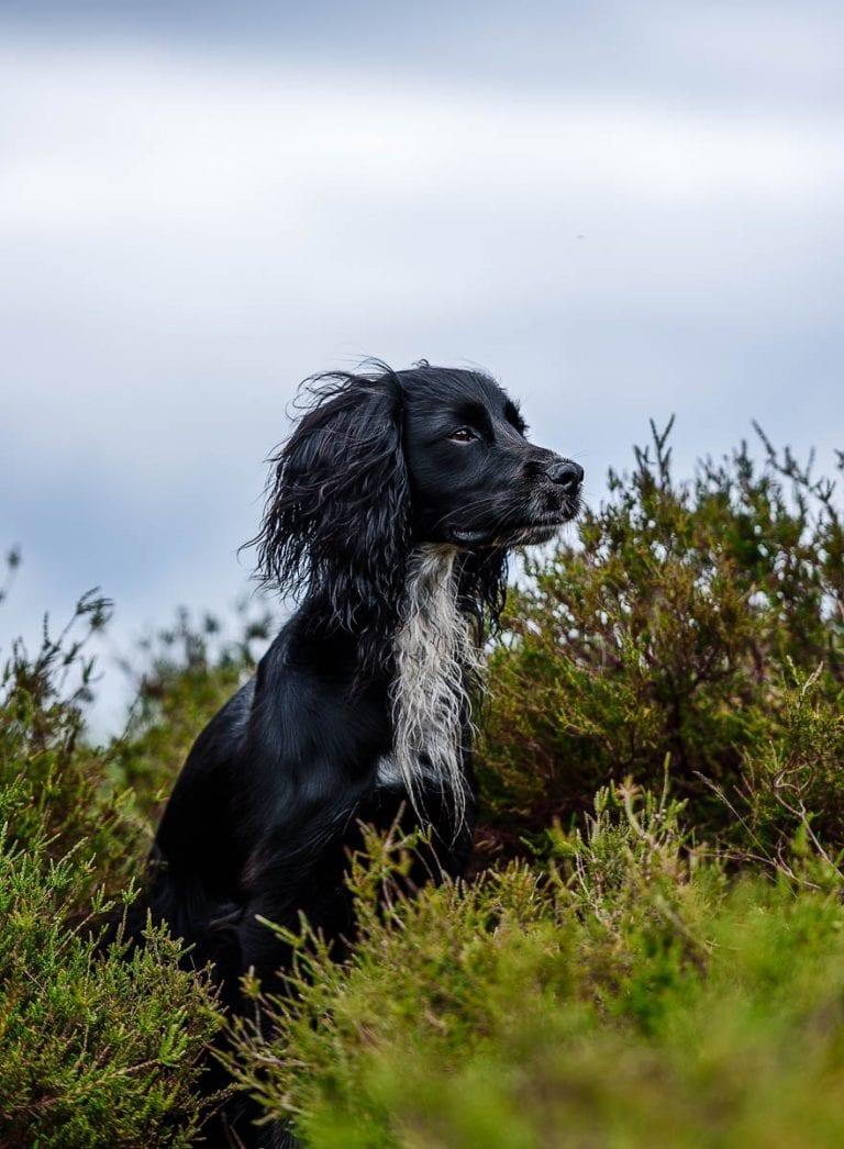 Wirral Dog Photographer - Working Cocker Spaniel WCS