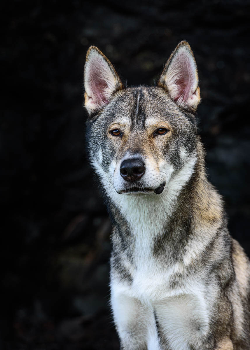 Midlands Dog Photographer - Tamaskan dog