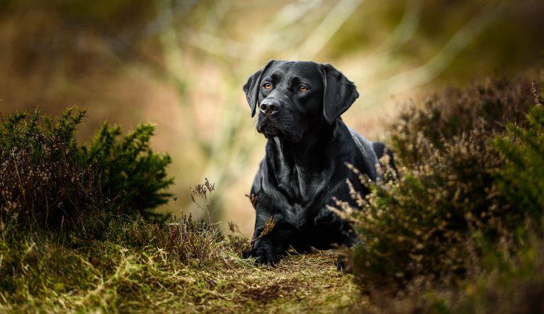 Cheshire Dog Photographer - Working Black Labrador