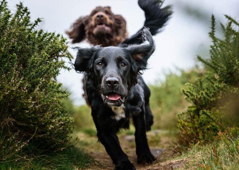 Award Winning Cheshire Dog Photographer - Spanador and Working Cocker Spaniel