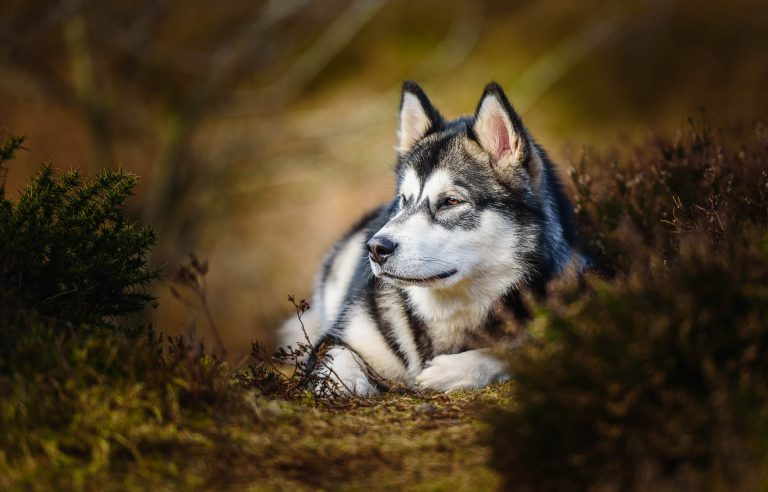 Award Winning Cheshire Dog Photographer - Alaskan Malamute