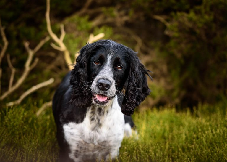Wirral Dog Photographer - Working English Springer Spaniel ESS