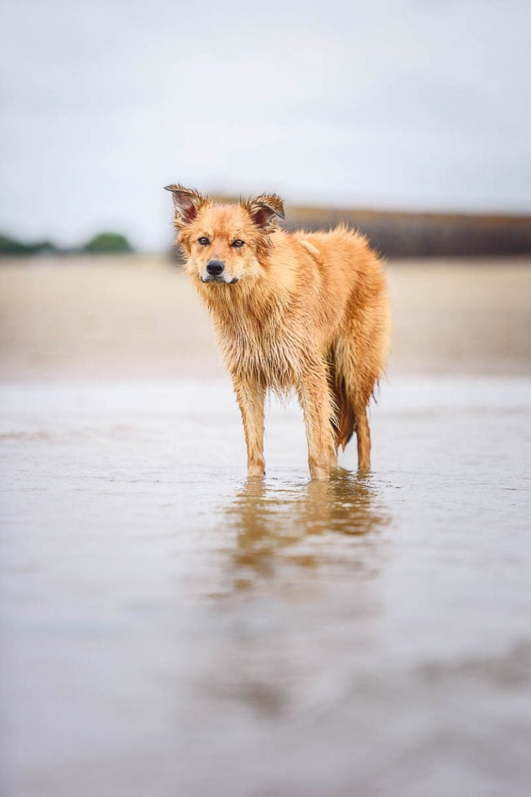 South Wales Dog Photographer - Working Welsh Collie