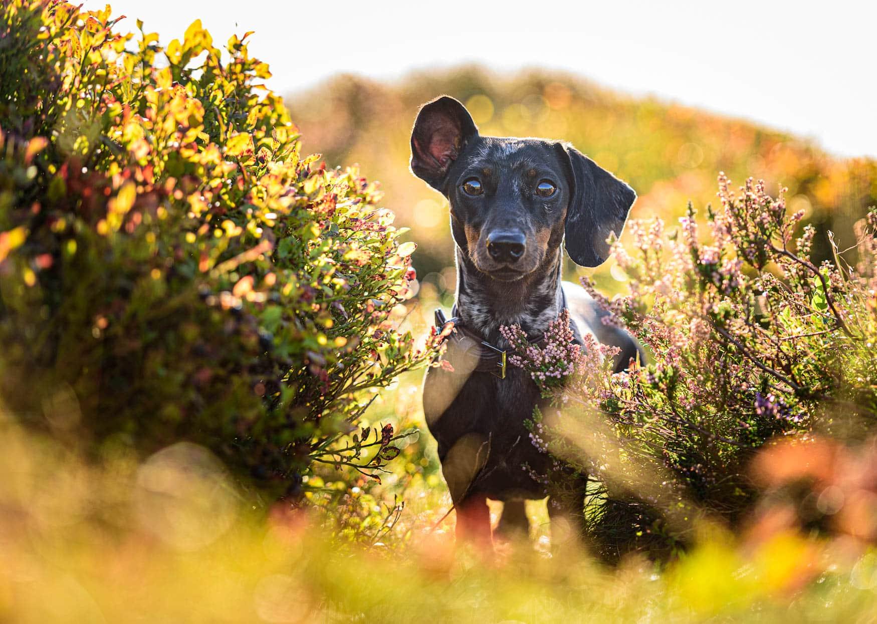 Wirral Dog Photographer - Silver Dapple Miniature Short-haired Dachshund