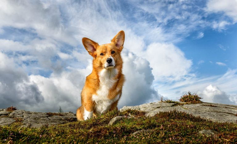 Corgi location dog photography in Cheshire and North Wales