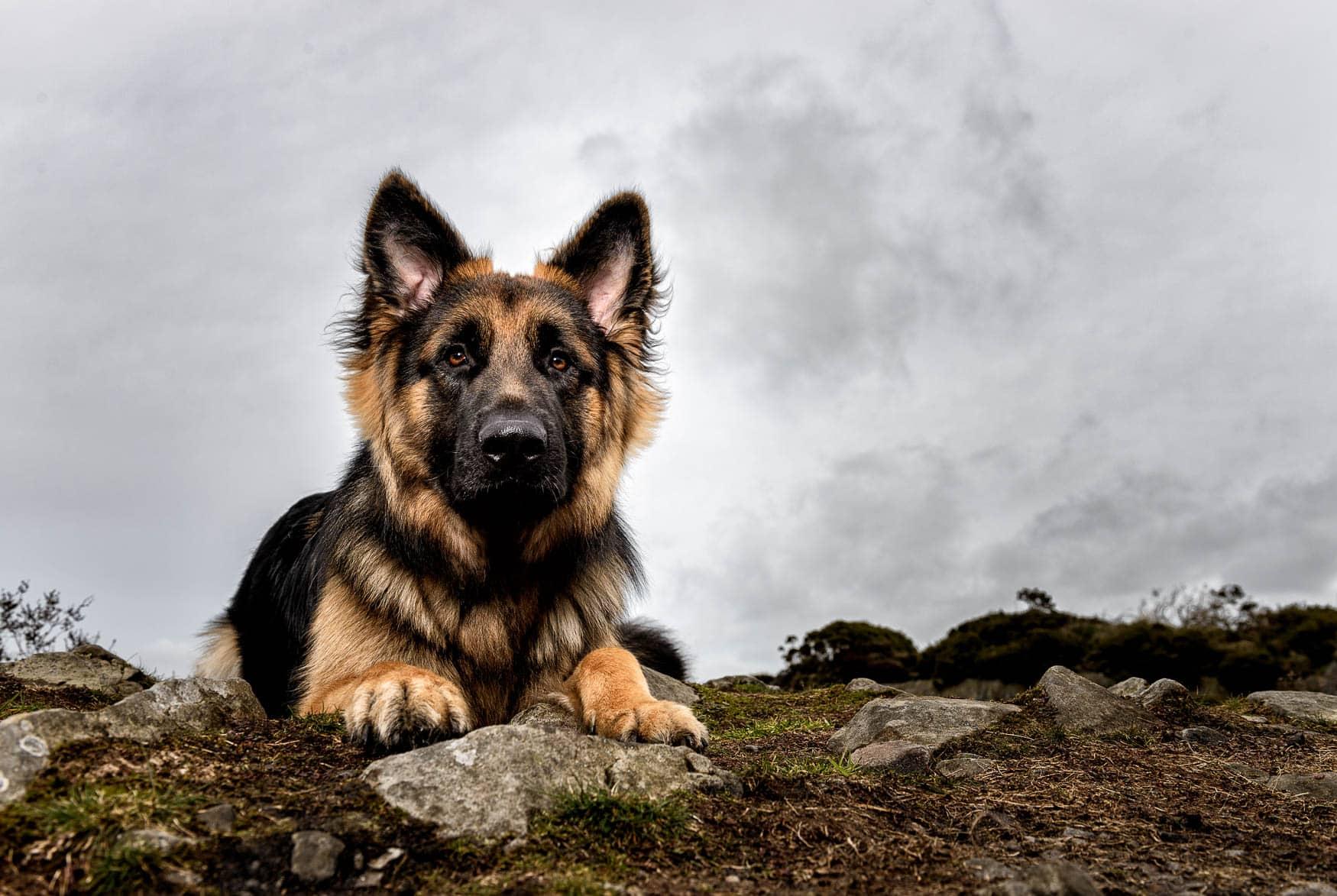 Cheshire Dog Photographer - German Shepherd Dog puppy