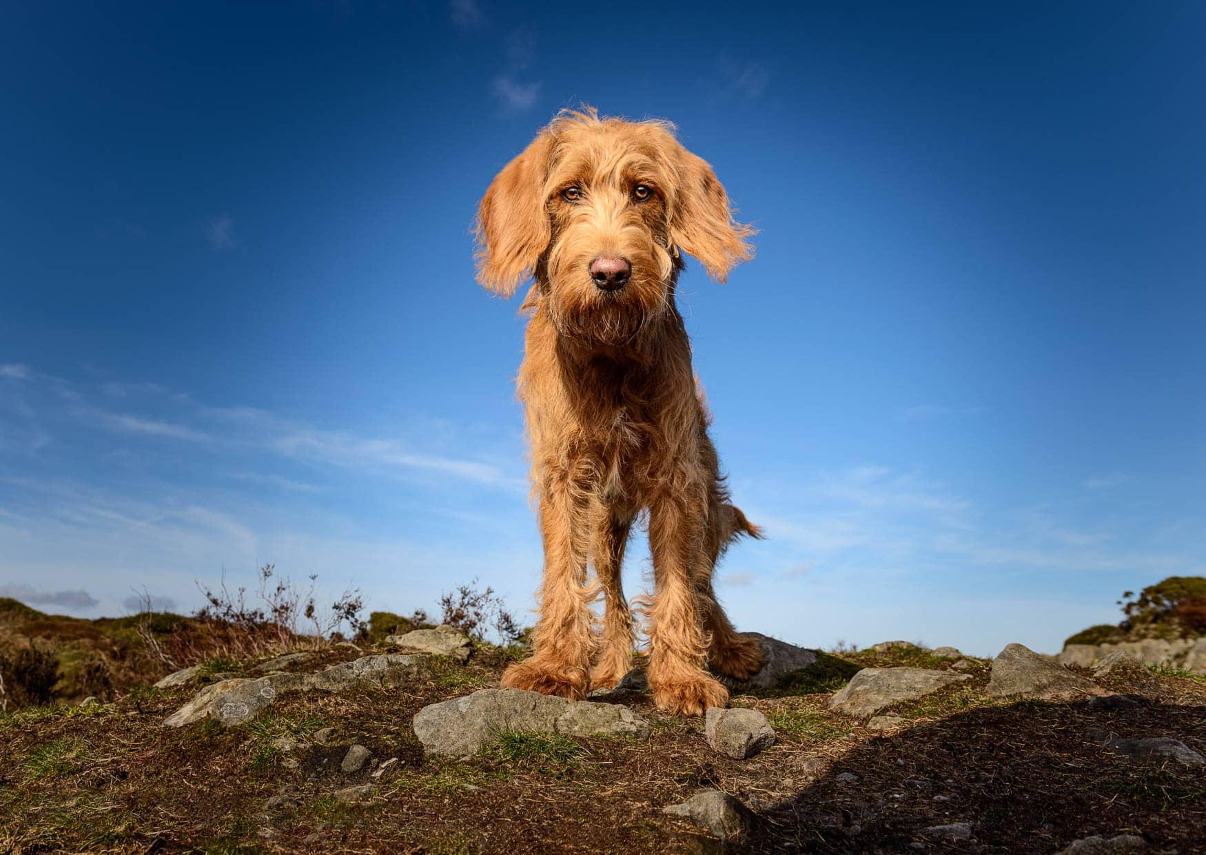 Shropshire Dog Photographer - Labradoodle puppy