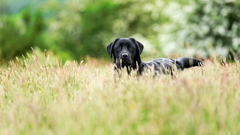 North Wales Dog Photographer - Black Working Labrador Puppy