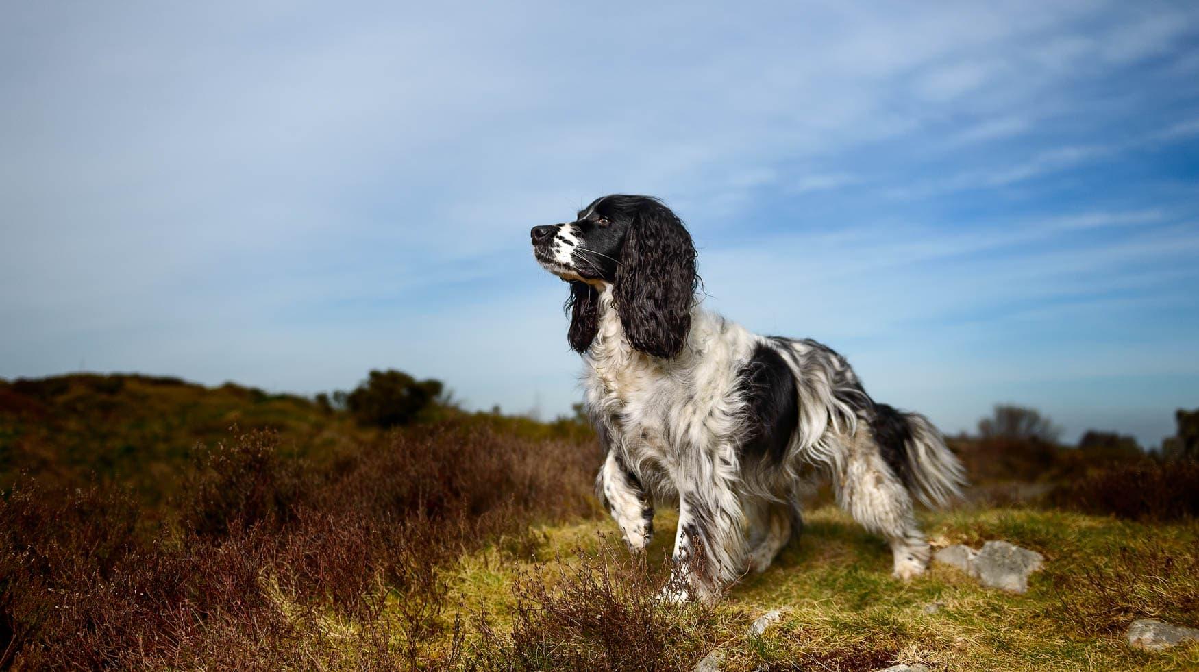 Shropshire Dog Photographer - Working Black and White English Springer Spaniel ESS