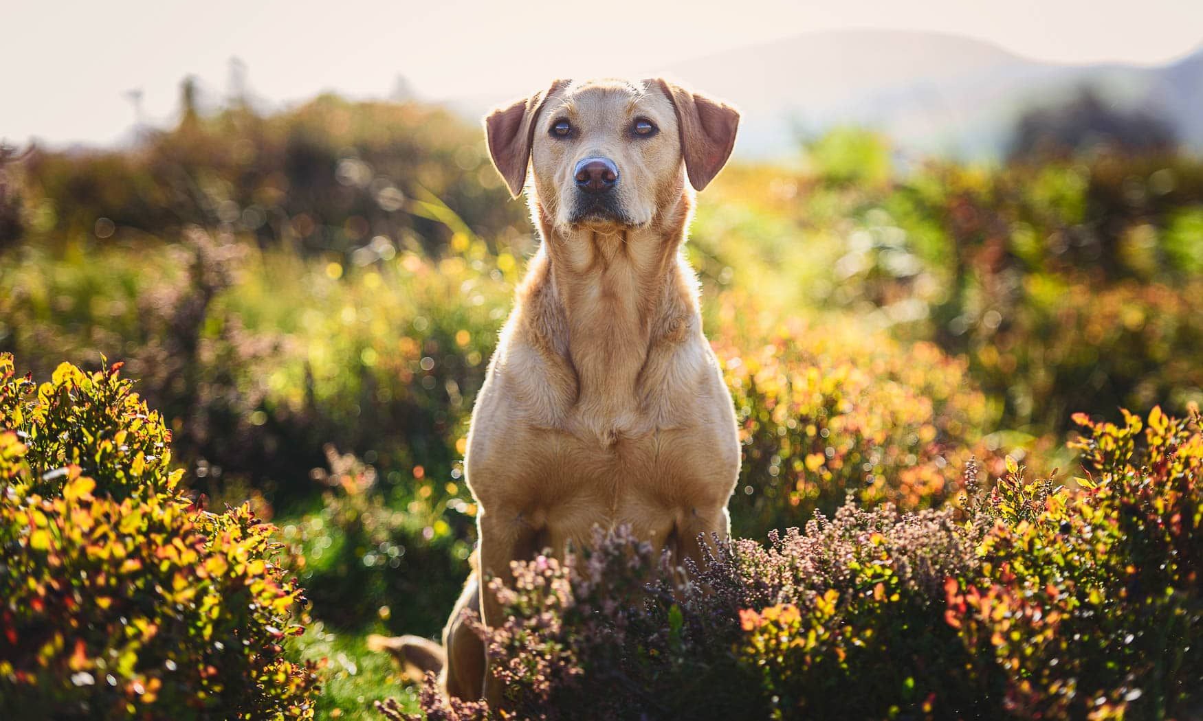 Wrexham Dog Photographer - Working Fox Red Labrador
