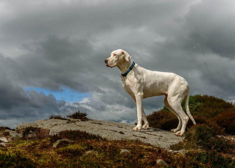 Shropshire Professional Dog Photographer - Senior Great Dane