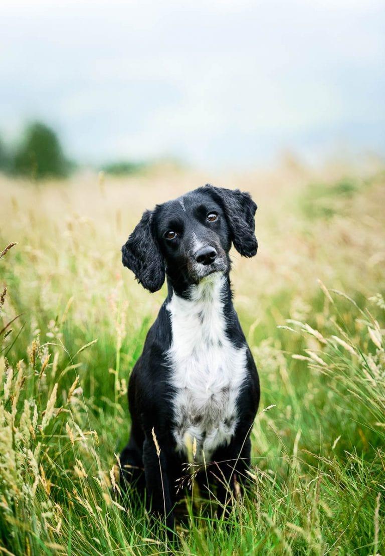 Wrexham Dog Photographer - Working Cocker Spaniel