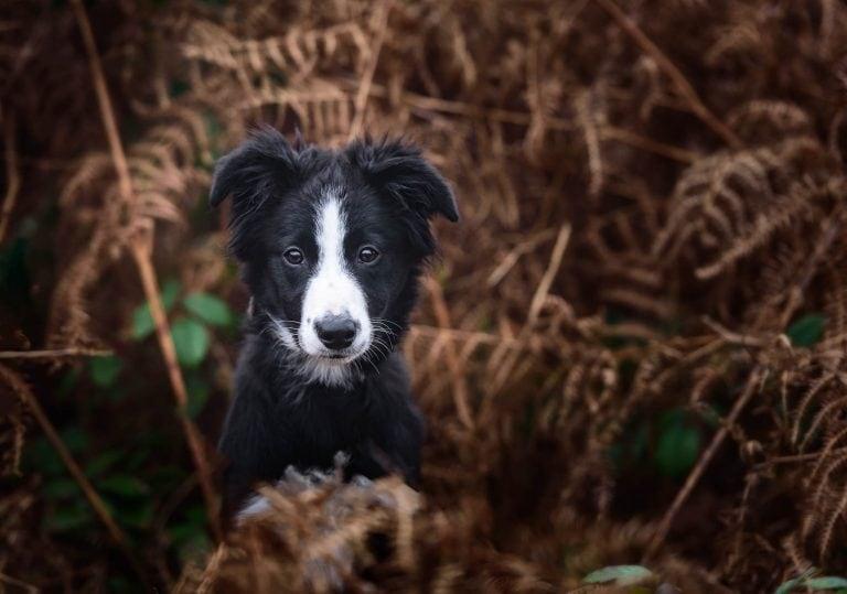 Cheshire Dog Photographer - Border Collie Puppy
