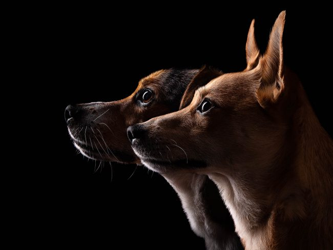 Studio fine art dog photographer North Wales - Jack Russell and JRT X