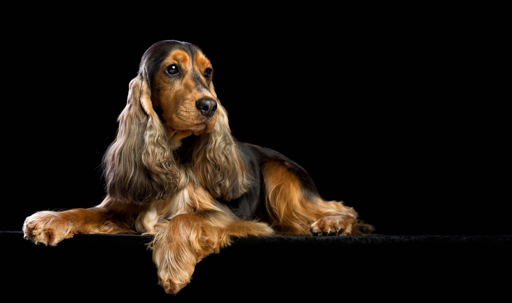 Studio fine art dog photographer Cheshire - Show Cocker Spaniel
