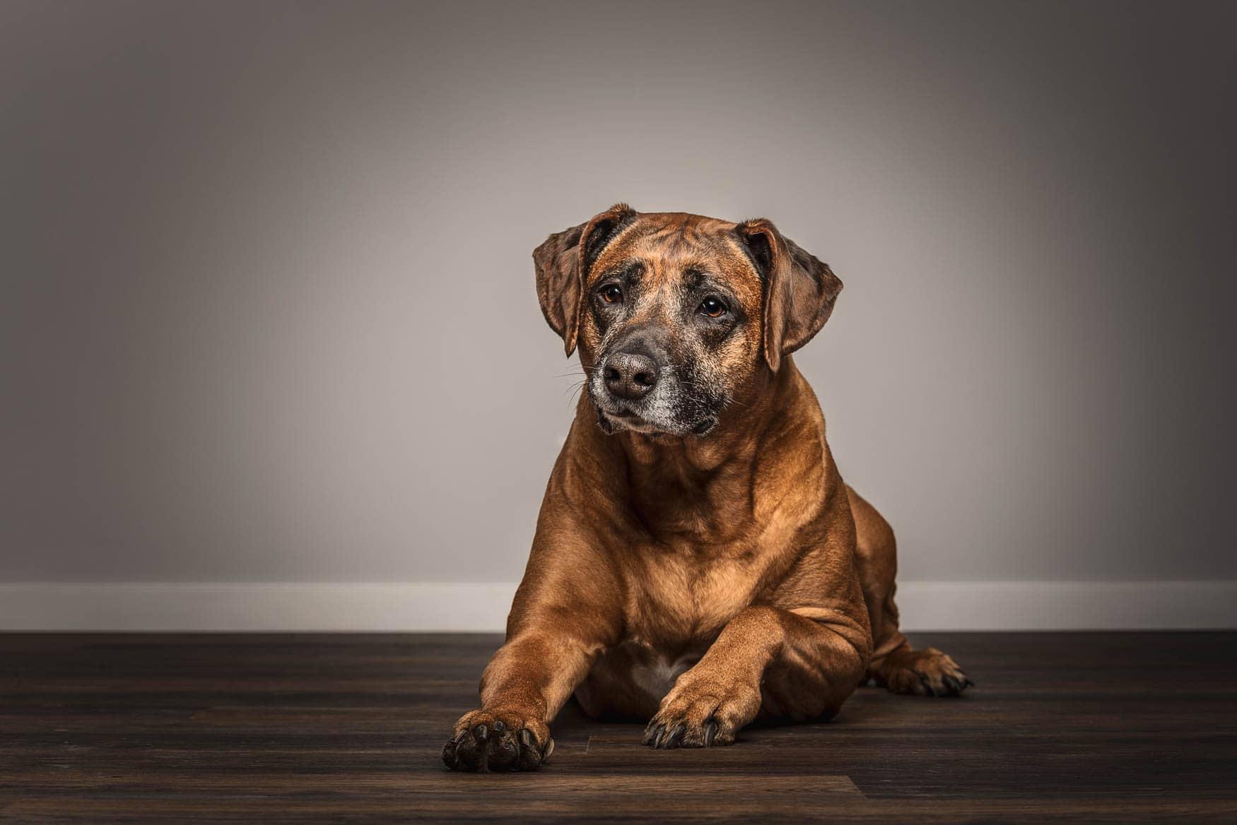 Studio fine art dog photographer Wirral - Ridgeback