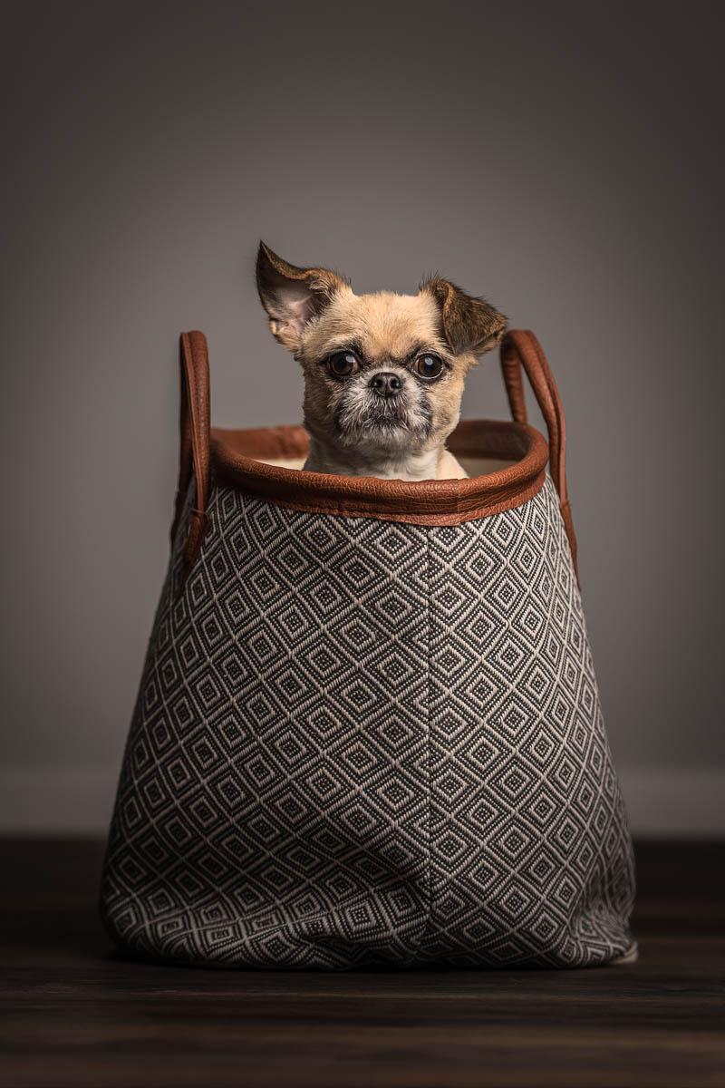 Studio fine art dog photographer Wirral - Chihuahua