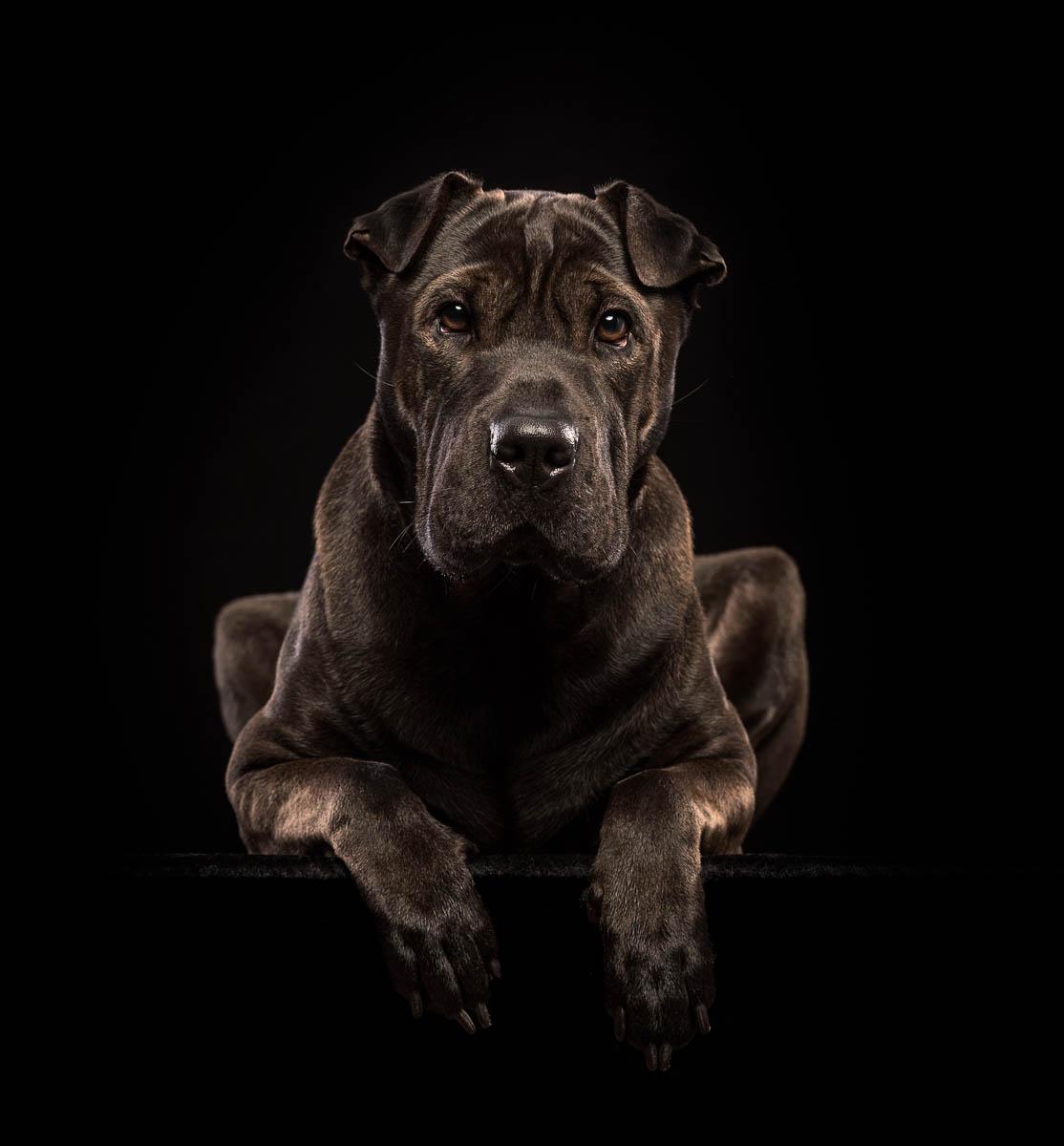Studio fine art dog photographer North Wales - Labrador X