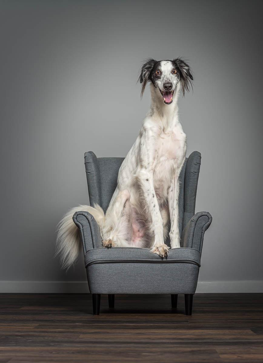 Studio fine art dog photographer Shropshire - Saluki cross