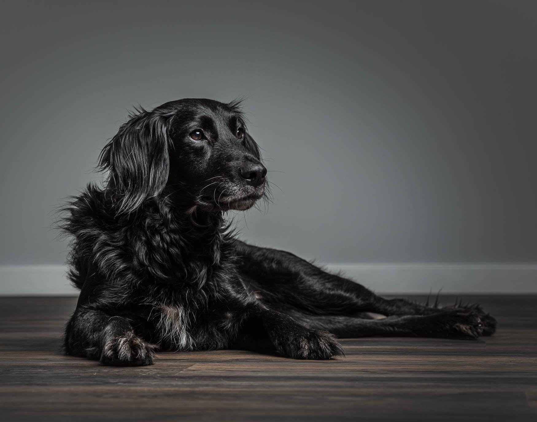 Studio fine art dog photographer Shropshire - Flat Coated Retriever cross