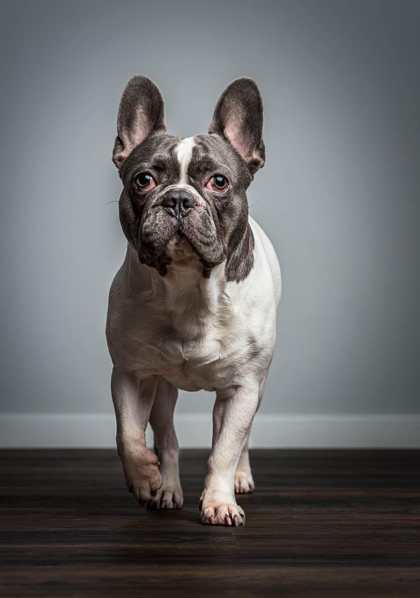 Studio fine art dog photographer Shropshire - French Bulldog