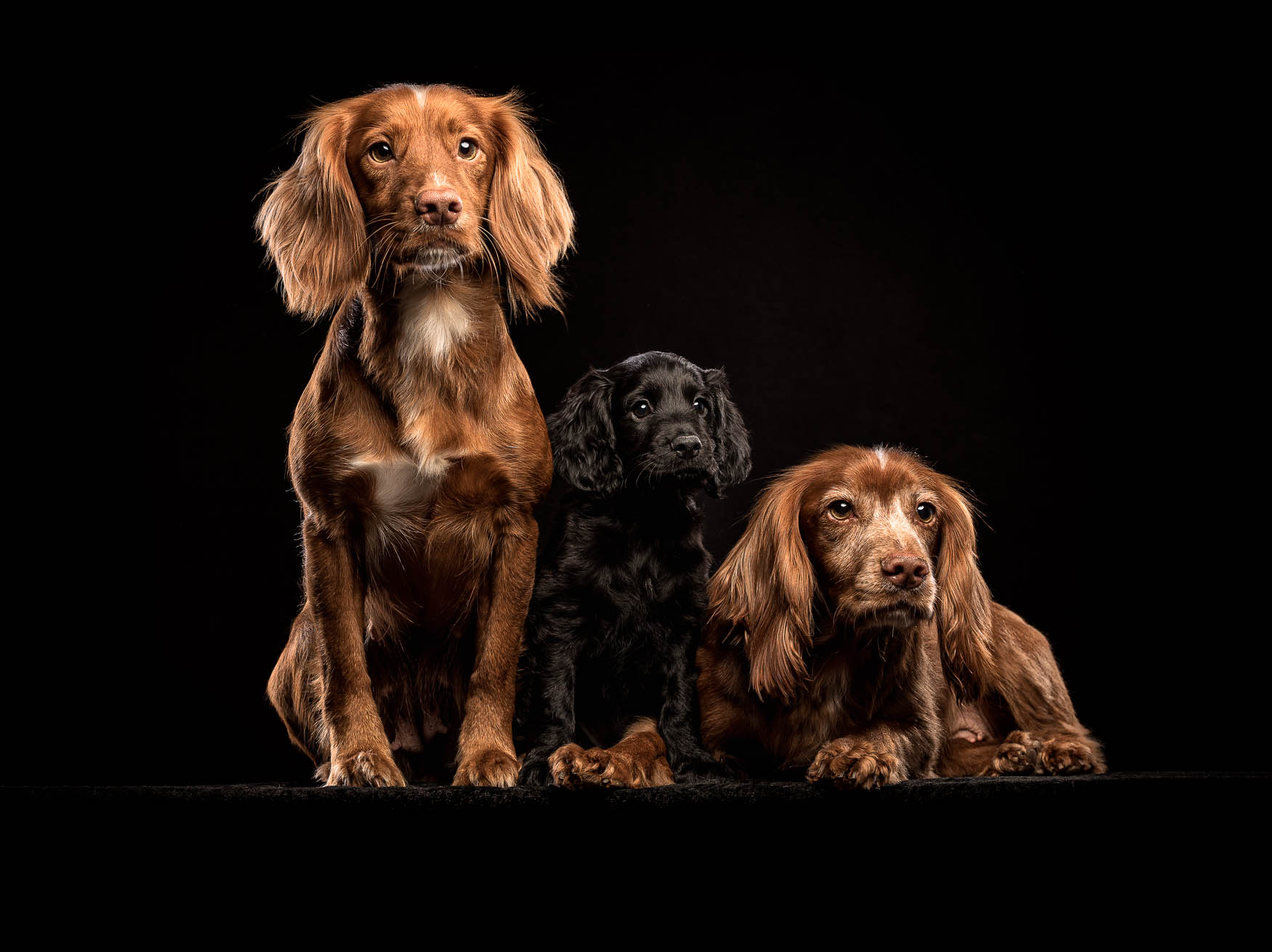 Studio fine art dog photographer Wrexham - Working Cocker Spaniels