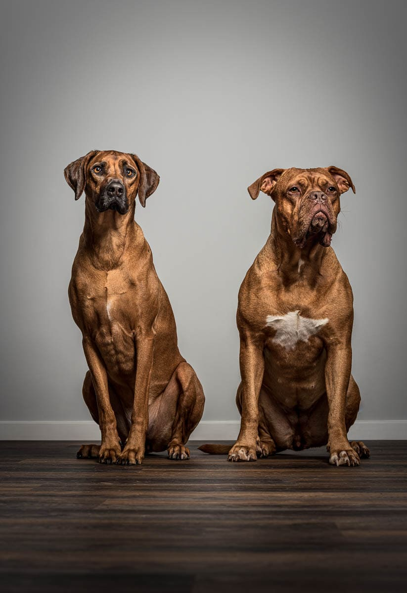 Studio fine art dog photographer Wrexham - Ridgeback and Dogue de Bordeaux