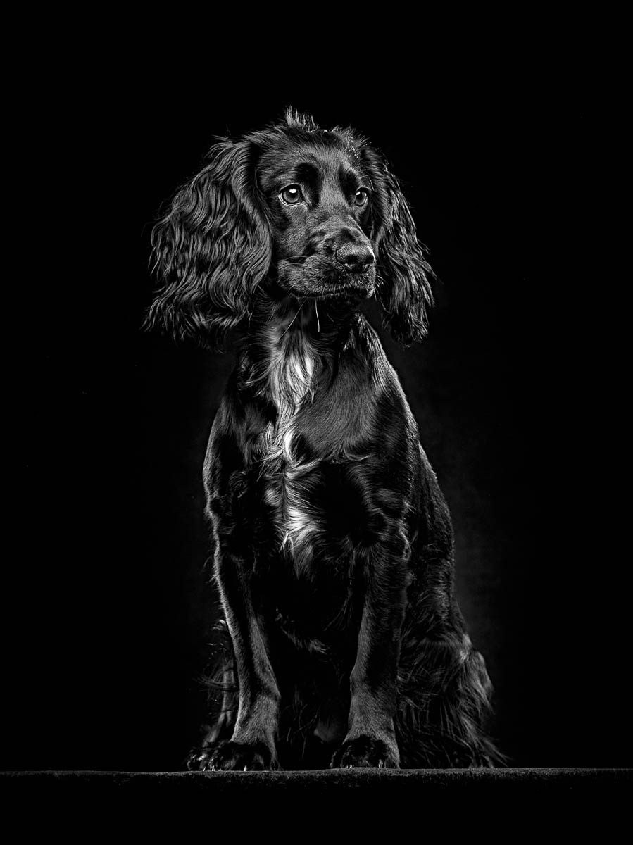 Studio fine art dog photographer North Wales - Working Cocker Spaniel puppy
