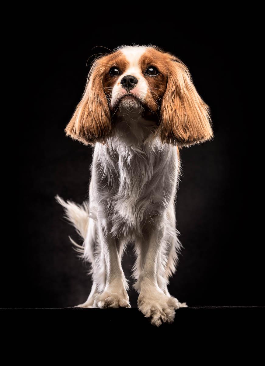 Studio fine art dog photographer West Midlands - Cavalier King Charles Spaniel