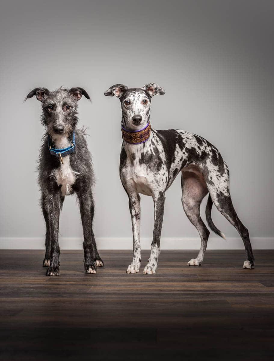 Studio fine art dog photographer Cheshire - Whippet and Lurcher