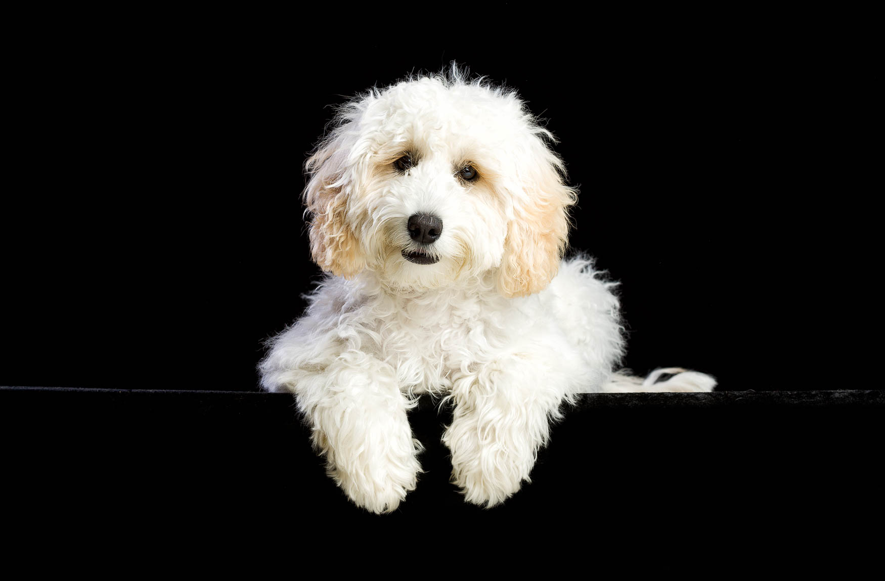 Fine art studio dog photographer Cheshire - Labradoodle puppy