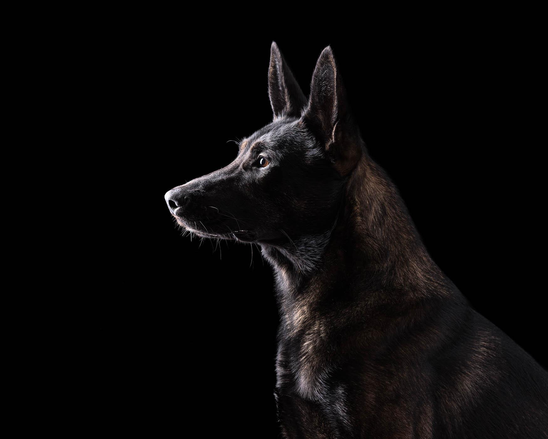 Fine art studio dog photographer Cheshire - Bull Lurcher