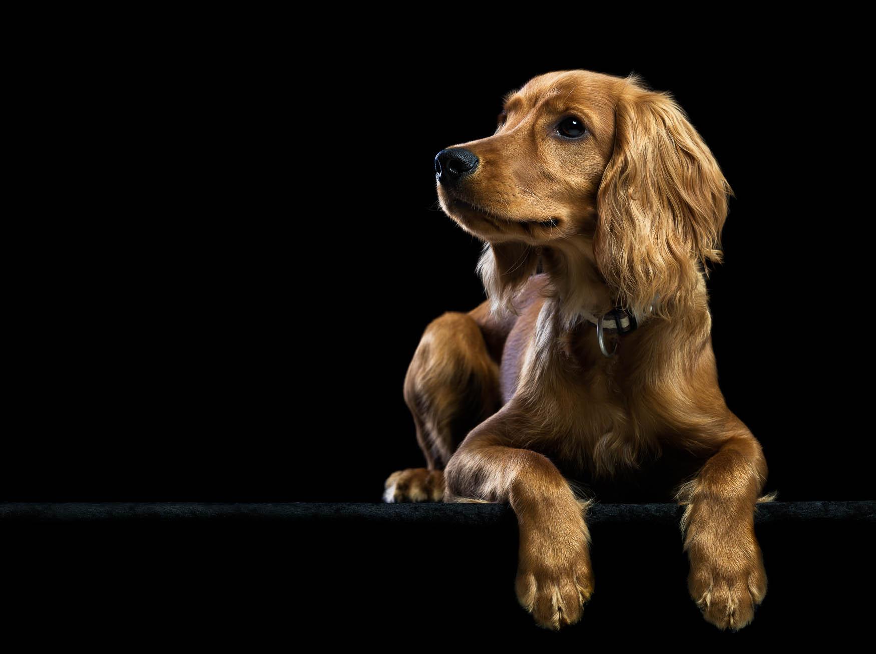 Fine art studio dog photographer Shropshire - Working Cocker Spaniel