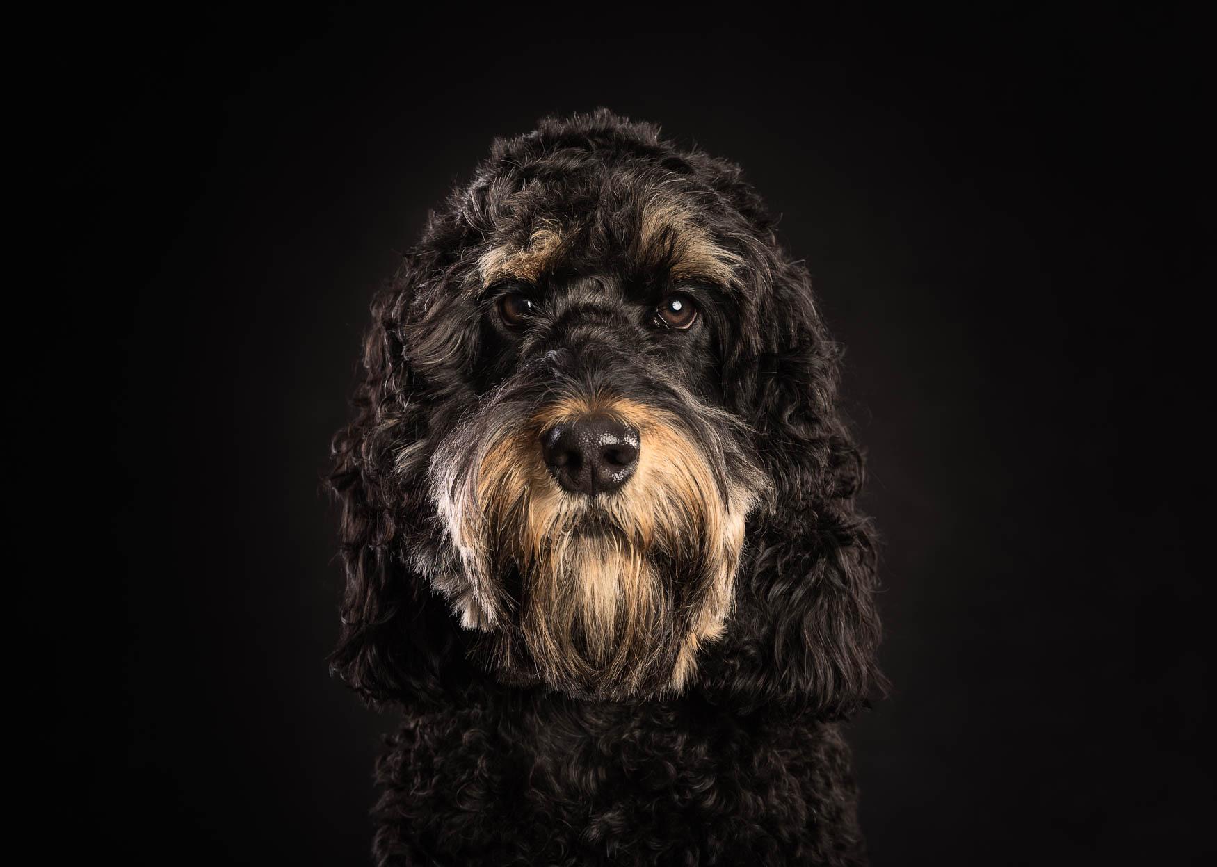 Fine art studio dog photographer Shropshire - Cockapoo