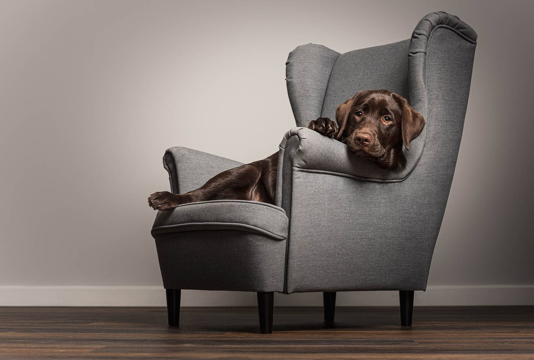 Fine art studio dog photographer Cheshire - Working Chocolate Labrador puppy