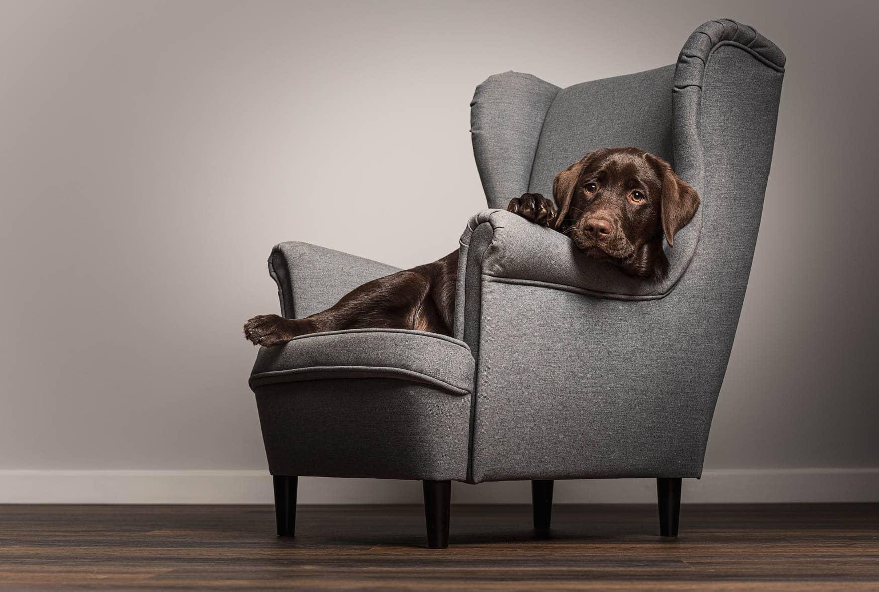 Fine art studio dog photographer Cheshire - Working Chocolate Labrador puppy
